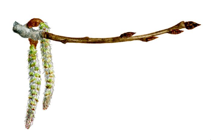 Asp, hänge och knopp