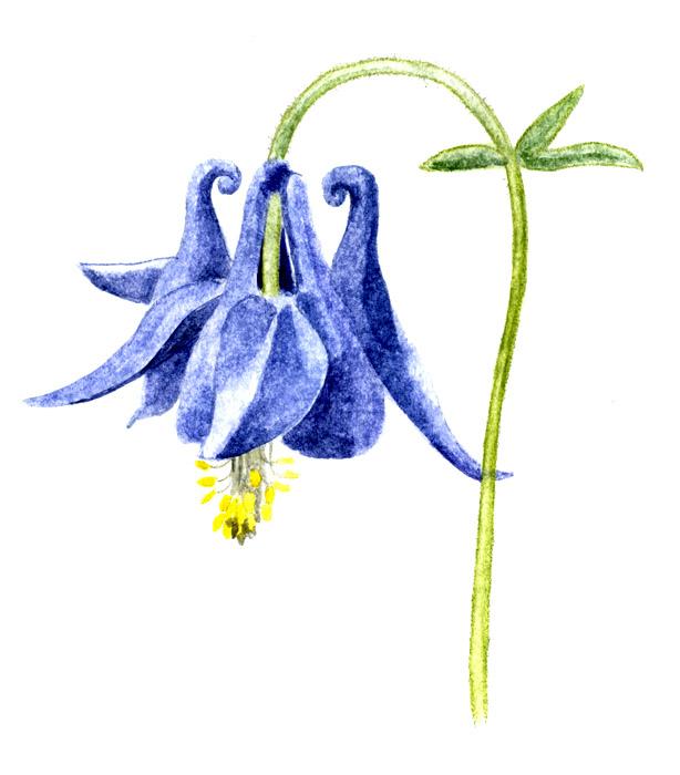 Akleja blå