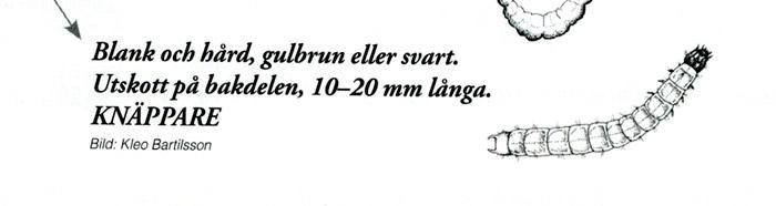 Bild ur nyckel i Signalarter bland bark- och vedlevande insekter i norra Sverige av Bengt Ehnström. Text: Bengt Ehnström, Formgivning: Magnus Bjelkefelt, Illustration: Kleo Bartilsson